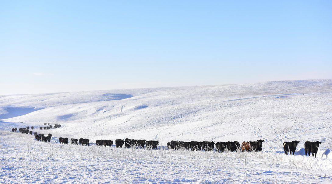 cows-in-snow